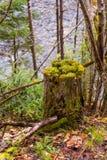树桩在有生长在树桩上面的新的年幼植物的森林里  绿色春天颜色 免版税图库摄影