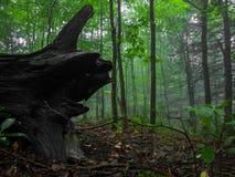 树桩在有雾的森林里 免版税库存图片