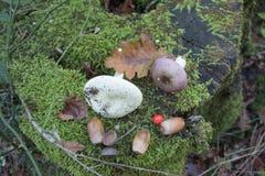 树桩在森林用绿色青苔完全地盖,在树桩橡子,蘑菇 免版税库存照片