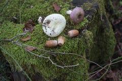 树桩在森林用绿色青苔完全地盖,在树桩橡子,蘑菇 图库摄影