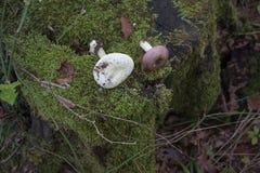 树桩在森林用绿色青苔完全地盖,在树桩蘑菇 库存照片