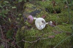 树桩在森林用绿色青苔完全地盖,在树桩蘑菇 库存图片