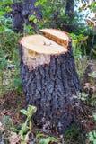树桩在森林里 库存照片