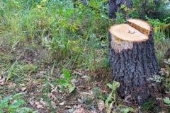 树桩在森林里 库存图片