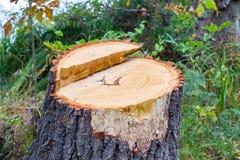 树桩在森林里 免版税图库摄影