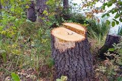 树桩在森林里 免版税库存照片