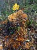 树桩在森林 免版税库存图片