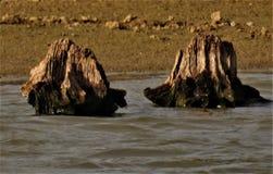 树桩在池塘升起 免版税库存图片