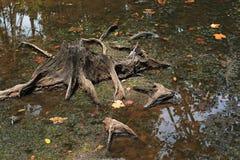 树桩在泥煤沼泽森林里 库存照片