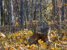 树桩在秋天森林里 图库摄影