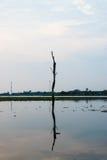 树桩在莲花湖 免版税图库摄影