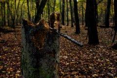 树桩在落叶林里 免版税库存图片