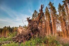 树桩底视图与根的 库存照片