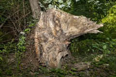 树桩或鸭子? 图库摄影