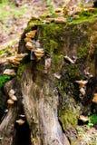 树桩用蘑菇和青苔在森林里 免版税图库摄影