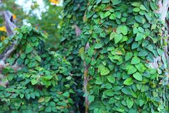 树桩的绿色爬行物植物 免版税库存图片