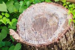 树桩被切除的和绿色叶子背景纹理 跨sectio 免版税图库摄影
