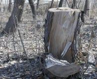 树桩 非常老结构树 库存图片