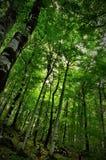 树梢在深森林里 图库摄影