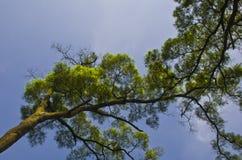 树梢有蓝天背景 图库摄影
