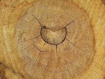 树横断面 库存图片