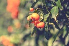树橙色果树栽培在围场,贝尔格莱德,塞尔维亚 免版税库存图片