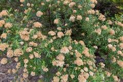 树永恒灌木,在Tas的Ozothamnus ferrugineus花  免版税库存图片