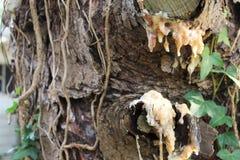 树汁水滴在一热的天 库存照片