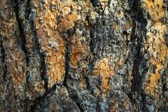 树汁被非难的杉树的宏观纹理 免版税图库摄影