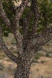 树泡泡糖在Geoorgian沙漠 免版税库存照片