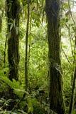 树滴下与豪华,绿色叶子在蒙泰韦尔德云彩森林储备在哥斯达黎加 图库摄影