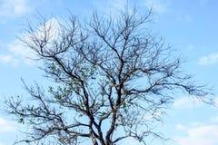 树照片没有叶子的,有蓝天的 库存图片