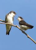 树燕子-双色的Tachycineta 库存照片