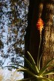 树状的芦荟 库存照片