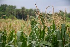 树玉米 免版税图库摄影