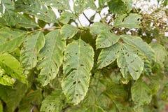树生叶与与叮咬的孔从昆虫,寄生生物,蠕虫, 免版税图库摄影