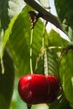 树用两棵ripes樱桃 库存图片