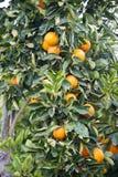 树用新鲜的桔子 免版税库存图片