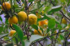 树用普通话果子在葡萄酒影片射击了 库存图片