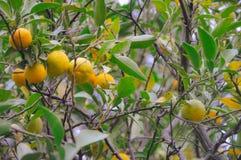 树用普通话果子在葡萄酒影片射击了 免版税库存照片