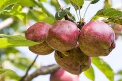 树用纯然的质量苹果,红元帅 库存照片