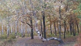 树白色树干在桦树树丛里 免版税图库摄影