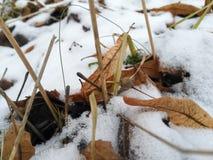 椴树的下落的叶子在雪的 免版税图库摄影