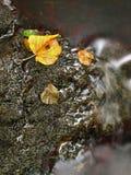 从椴树的五颜六色的打破的叶子在玄武岩石头在山河中被弄脏的水。 免版税库存照片