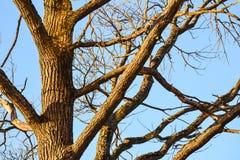 树的光秃的分支 没有叶子的分支反对蓝天 免版税库存图片