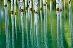 树的反射在湖绿色背景的  库存图片