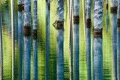 树的反射在湖绿色背景的  免版税库存图片