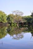 树的反射在水中 免版税库存图片