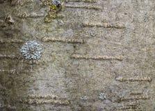 树的吠声与地衣的 免版税库存图片
