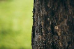 树的吠声在绿色背景的 在草背景的树  树皮特写镜头 库存图片